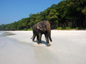 Indian Elephant (Elephas Maximus Indicus) Striding Along White Sand of Radhanagar Beach by Astrid Schweigert