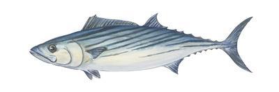 Atlantic Bonito (Sarda Sarda), Fishes-Encyclopaedia Britannica-Art Print