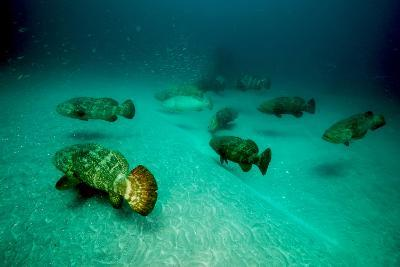 Atlantic Goliath Groupers Hover Above the Warrior Artificial Reef-David Doubilet-Photographic Print