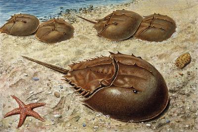 Atlantic Horseshoe Crab (Limulus Polyphemus), Limulidae--Giclee Print