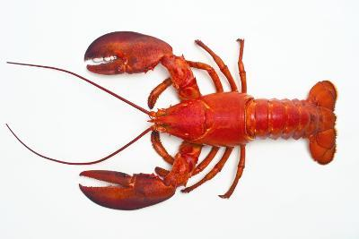 Atlantic Lobster-David Nunuk-Photographic Print