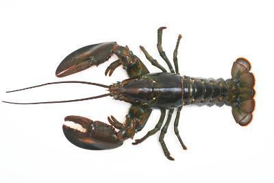 Atlantic Lobster-David Nunuk-Photographic Print