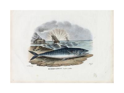 Atlantic Mackerel, 1863-79-Raimundo Petraroja-Giclee Print
