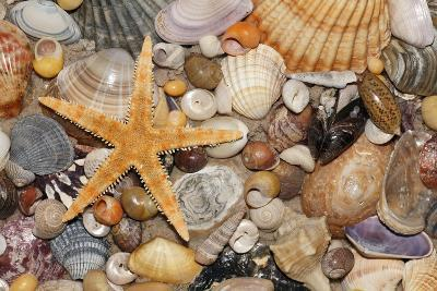 Atlantic Mixed Shells and Starfish on Beach--Photographic Print