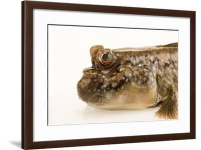 Atlantic mudskipper, Periophthalmus barbarus, at the Aquarium of the Pacific.-Joel Sartore-Framed Photographic Print