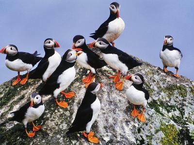 Atlantic Puffin Flock, Fratercula Arctica, Outer Hebrides, Scotland-Frans Lanting-Photographic Print