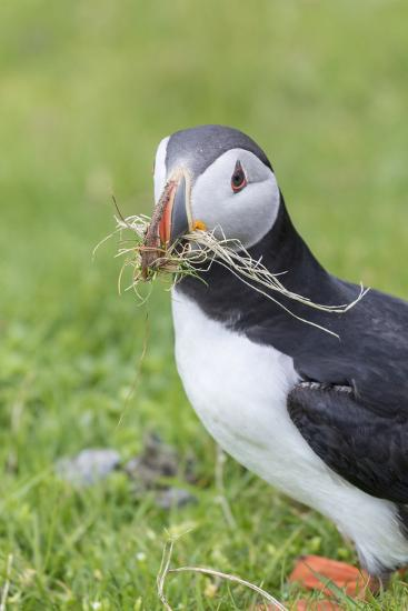 Atlantic Puffin. Scotland, Shetland Islands-Martin Zwick-Photographic Print