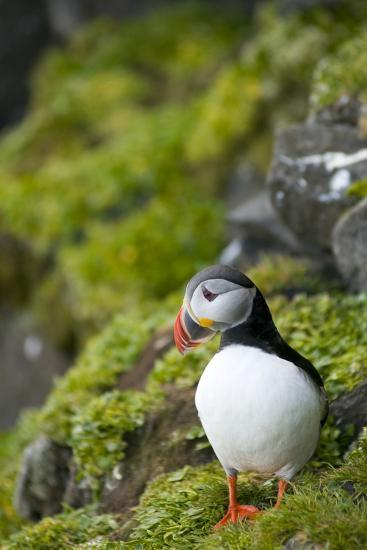 Atlantic Puffin, Spitsbergen, Svalbard, Norway-Steve Kazlowski-Photographic Print