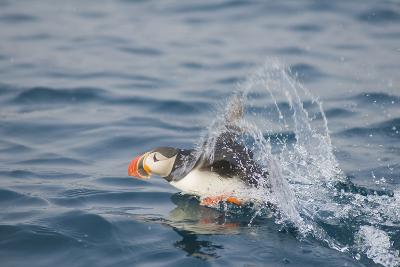 Atlantic Puffin Takes Flight, Spitsbergen, Svalbard, Norway-Steve Kazlowski-Photographic Print