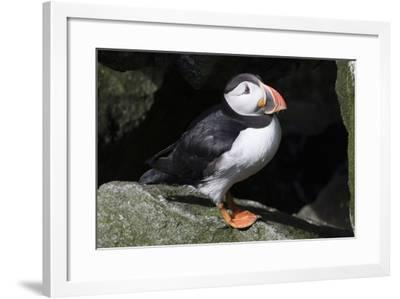 Atlantic Puffin--Framed Photographic Print