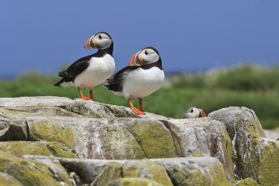 Atlantic Puffins (Fratercula Arctica) on a Rock Against a Blue Sky, Inner Farne, Farne Islands-Eleanor Scriven-Photographic Print