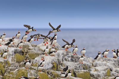 Atlantic Puffins (Fratercula Arctica) Take Flight from a Cliff-Top, Inner Farne, Farne Islands-Eleanor Scriven-Photographic Print