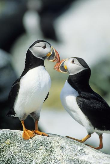 Atlantic Puffins, Machias Seal Island, Maine-Richard and Susan Day-Photographic Print
