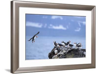 Atlantic Puffins on a Rock at Vigur Island in Isafjordur Bay-Michael Melford-Framed Photographic Print