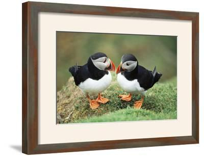Atlantic Puffins Pair--Framed Photographic Print
