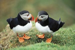 Atlantic Puffins Pair