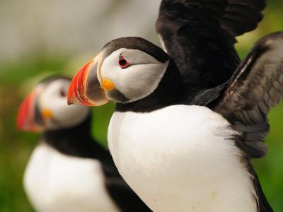 Atlantic Puffins Up Close. One Is About to Fly Away-Darlyne A^ Murawski-Photographic Print