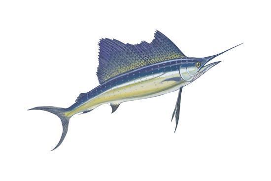 Atlantic Sailfish (Istiophorus Platypterus), Fishes-Encyclopaedia Britannica-Art Print