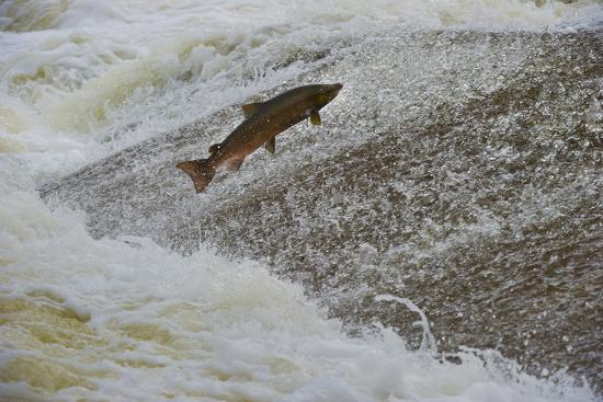 Atlantic Salmon (Salmo Salar) Leaping Up the Cauld at Philphaugh Centre Near Selkirk, Scotland, UK-Rob Jordan-Photographic Print