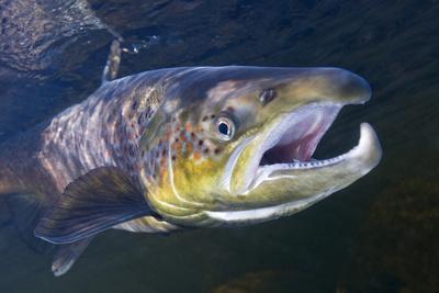 https://imgc.artprintimages.com/img/print/atlantic-salmon-salmo-salar-male-river-orkla-norway-september-2008_u-l-q10of7d0.jpg?p=0