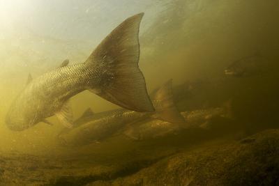 Atlantic Salmon (Salmo Salar) Migrating Upstream to Spawn, Ume?lven, Sweden, July 2009- Roggo-Photographic Print