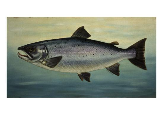 Atlantic Salmon-Porter Design-Premium Giclee Print