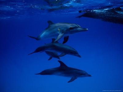 Atlantic Spotted Dolphins, Group Swimming, Bahamas-Gerard Soury-Photographic Print