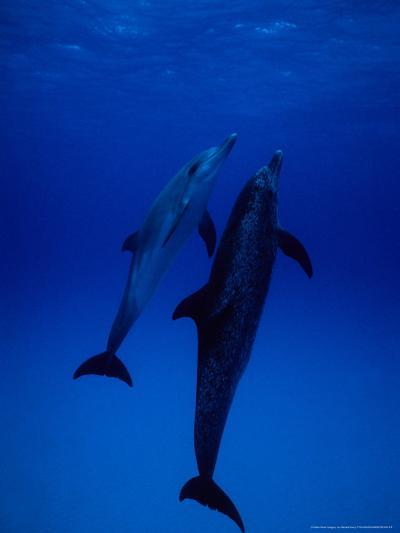 Atlantic Spotted Dolphins, Pair Swimming, Bahamas-Gerard Soury-Photographic Print