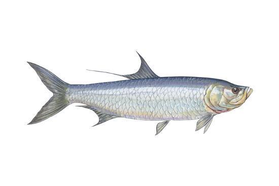 Atlantic Tarpon (Megalops Atlantica), Fishes-Encyclopaedia Britannica-Art Print