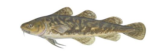 Atlantic Tomcod (Microgadus Tomcod), Fishes-Encyclopaedia Britannica-Art Print