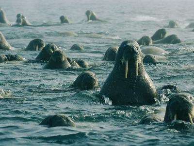 Atlantic Walruses Take a Swim in the Arctic Ocean-Norbert Rosing-Photographic Print