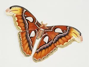 Atlas Silk Moth (Attacus Atlas), Saturniidae, Artwork by Bridgette James