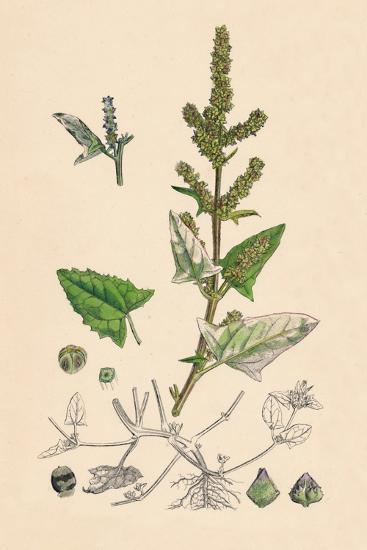 'Atriplex deltoidea. Triangular-leaved Orache', 19th Century-Unknown-Giclee Print