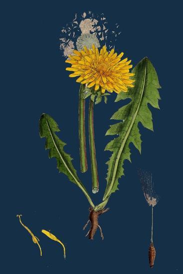 Atriplex Patula, Var. Angustifolia; Narrow-Leaved Orache, Var. A--Giclee Print