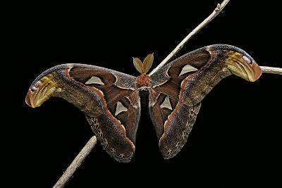 Attacus Atlas (Atlas Moth) - Male-Paul Starosta-Photographic Print