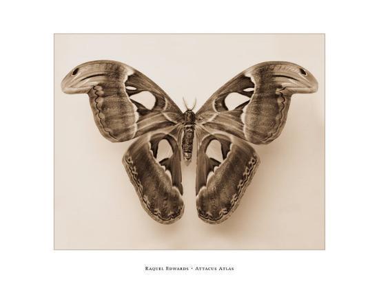 Attacus Atlas-Raquel Edwards-Art Print