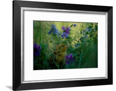 attwater's Prairie Chicken, Young Chick in Flower-Joel Sartore-Framed Photographic Print