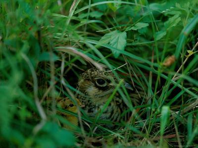 Attwaters Prairie-Chicken Hidden in the Grass-Joel Sartore-Photographic Print