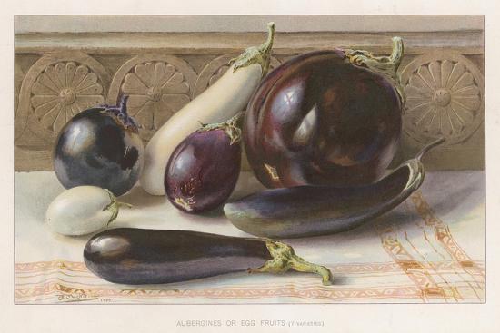 Aubergines or Egg Fruits--Giclee Print