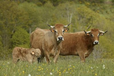Aubrac Cows with Calf--Photographic Print