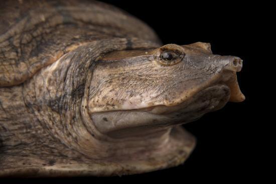 Aubry's Flapshell Turtle, Cycloderma Aubryi-Joel Sartore-Photographic Print