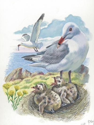 AudouinS Gull Ichthyaetus or Larus Audouinii with Chicks in Nest--Giclee Print