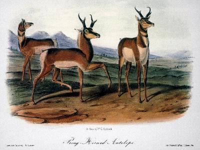 Audubon: Antelope, 1846-John James Audubon-Giclee Print