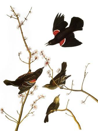 https://imgc.artprintimages.com/img/print/audubon-blackbird-1827_u-l-pfc5jm0.jpg?p=0
