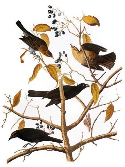 Audubon: Blackbird, 1827-John James Audubon-Giclee Print