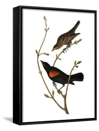 Audubon: Blackbird-John James Audubon-Framed Art Print