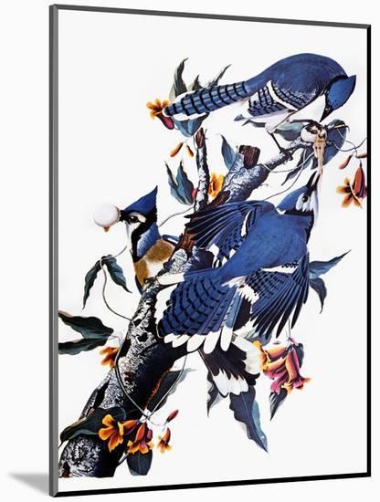 Audubon: Blue Jay-John James Audubon-Mounted Premium Giclee Print