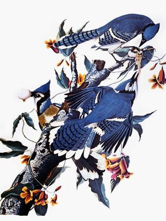https://imgc.artprintimages.com/img/print/audubon-blue-jay_u-l-pfc74g0.jpg?artPerspective=n