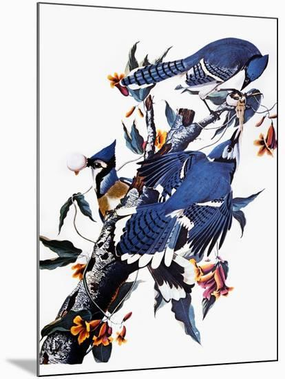 Audubon: Blue Jay-John James Audubon-Mounted Giclee Print