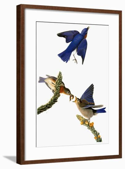 Audubon: Bluebird-John James Audubon-Framed Giclee Print